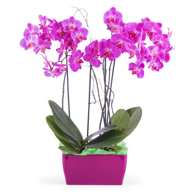 Arrangement of Phalaenopsis Orchids